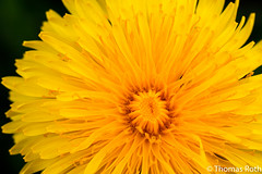 Blühender Löwenzahn (Taraxacum) (CoronadoTR) Tags: dandelion löwenzahn nature natur yellow spring frühling taraxacum macro canon