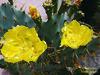 Cactus (Janos Graber) Tags: flores cactus 2 amarelas plantas vegetal quintino riodejaneiro
