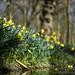 Forest daffodils