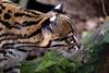 Miciomicio...   :)) (carlo612001) Tags: ocelot predators predatori animali animals gatto cat cats felini feline felines carnivori carnivores occhi eyes denti teeth fangs zanne oasidisantalessio