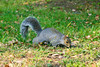 Squirrel (RunningRalph) Tags: manhattan rooseveltisland squirrel newyork verenigdestaten us