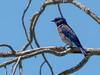 Western bluebird (stephenlester) Tags: westernbluebird bluebird sialiamexicana