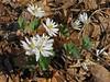 Bloodroot (Sanguinaria canadensis) (magarell) Tags: flower wildflower bloodroot sanguinariacanadensis mcburneywoods sourlands hunterdoncounty nj