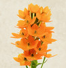 Ornithogalum Dubium (Sandyp.com) Tags: ornithogalumdubium sunstar flower sonyalpha sonya7rii texturedbackground focusstacked