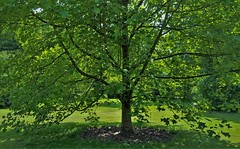 Liriodendron...Chinese (standhisround) Tags: trees tree treemendoustuesday htmt liriodendron chinese china london england nature leaves royalbotanicalgardens rbg kewgardens kew uk tuliptree gardens plant park