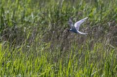 9Q6A7871 (2) (Alinbidford) Tags: alancurtis alinbidford brandonmarsh commontern nature wildbirds wildlife