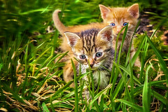 First walk / Первая прогулка (kvl23) Tags: cat domestic pet sleep fur furry downy kitten carnivore sleepy adorable animal eye eyes head