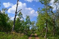 Alley through the krummholz (МирославСтаменов) Tags: krummholz russia mogutova zhiguli byroad deadwood snag forest broadleaved oak maple