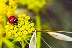 Coccinellidae in red y yellow (Peideluo) Tags: macro macrofotografía nature flowes naturaleza primavera colores insect flores floressilvestres amarillo