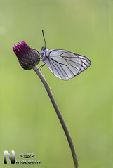 Aporia Crataegi (Nikologia) Tags: aporia crataegi macrofotografia mariposa lepidoptero tximeleta