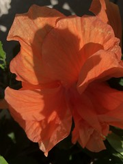 c2018 June 18, Peach Hibiscus (King Kong 911) Tags: flowers plants blooms yellow peach green elephant ears pots growing