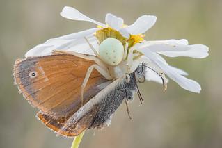 Misumena vatia eating Coenonympha tullia