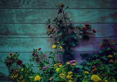 Lantana (joditbobo) Tags: flower lantana texasflower 3652018 365the2018edition day171 171365 20june18