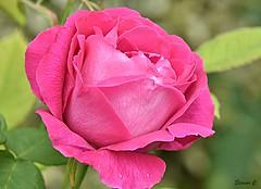 Thursday`s Flower (Eleanor (No multiple invites please)) Tags: rose pinkrose busheyrosegarden bushey uk nikond7200 june2018