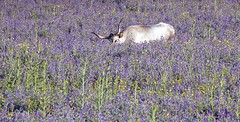 Colors of Maremma (Jambo Jambo) Tags: vacca vaccamaremmana cow fiori flowers campagna countryside montepescali sticciano grosseto maremma maremmacountryside maremmatoscana toscana tuscany italia italy sonydscrx10m4 jambojambo