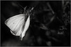 papillon blanc (Des.Nam) Tags: nb noiretblanc nordpasdecalais nikon nord noirblanc noir bw blackwhite desnam d800 papillon monochrome mono nature faune pdc proxy macro
