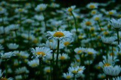 DSC_0844 (Bets<3 Fine Artist ~Picturing Light ~ Blessings ~~) Tags: daisies maine bokeh macrofeeling fieldofdaisies yellow green white