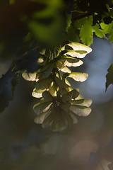 leuchtender Ahorn