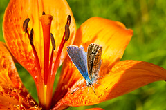 Rest (Walter Quirtmair) Tags: ifttt 500px flower lily red orange wild insect butterfly quirtmair meadow summer macro blue