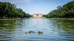 Lincoln Memorial Ducks (Northern Kev) Tags: lincoln memorial ducks birds america usa washington nikon d7200 nikond7200 lake reflection pool wildlife ducklings