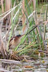 Petit blongios (2) (boisvertvert1) Tags: petitblongios leastbittern michelboisvert 2018 oiseauxduquébec canada québec birds marais canon canon70d