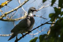 Proud (Explore 06/25/2018) (CJH Natural) Tags: woodpigeon ringeltaube columbapalumbus dove pigeon bird wildlife nature happy proud