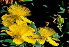 L'abeille, les pattes chargées (Diegojack) Tags: echandens vaud suisse d7200 insecte abeille jaune millepertuis fleurs plantes closeup