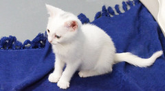 Beautiful White Kitten against a field of Blue (ghostlyfour2) Tags: white kitten kittens cat cats feline felines adoptable austintown austintownohio falconanimalrescue pentaxkp pentax pentax1530mm28 rescueshelter rescue animalshelter animalrescue