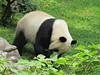 Bei Bei in his yard (heights.18145) Tags: visitthezoo national zoo washingtondc animals pandas fun cute bamboo beibei tiantian meixiang