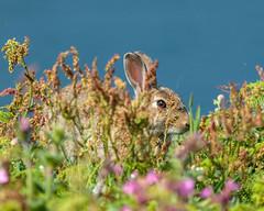 Rabbit (Orytolagus cuniculus) (warren hanratty) Tags: skomer portrait wildlife flowers nature rabbit eye wilderness pembrokeshire skomerisland