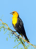 Yellow-Headed Blackbird (Ed Sivon) Tags: america canon nature lasvegas wildlife wild western southwest clarkcounty desert bird vegas flickr henderson nevada preserve