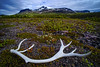 Reindeer antler (Kari Siren) Tags: horn reindeer flower mountain stora sjöfallet national park
