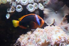 Reef fish with blue stripe (quinet) Tags: 2017 canada ontario rom royalontariomuseum toronto museum musée naturalhistory 124