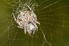 Agalenatea redii (Jaume Bobet) Tags: agalenatea redii araneae araneidae araña macro bobet canon sigma