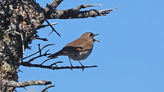 Grive de Bicknell_070A6586 (d.jauvin) Tags: grive québec grivedebicknell bicknell'sthrush catharusbicknelli