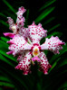 William and Kate (kate willmer) Tags: flower orchid pink white garden plant botanical singapore