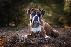 13/52 the end of a great spring day (Kerstin Mielke) Tags: kurt 52weeksfordogs boxerdog last light