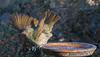 satin bowerbird (Ptilonorhynchus violaceus)-5424 (rawshorty) Tags: rawshorty birds canberra australia act symonston