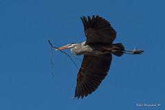 Nesting Heron (Earl Reinink) Tags: sky tree blue heron crane greatblueheron wading bird animal nest nesting nature flying stick branch earl reinink earlreinink wildlife outdoors spring tozaattdza