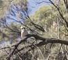 A Stare off with a Laughing Kookaburra (|Sarah|) Tags: laughingkookaburra kookaburra canon1200d animal morialtaconvservationpark southaustralia bird birds wildlife nature native exploring animalplanet