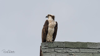Osprey of the Jersey Shore   2018 - 7