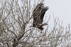 Female Bald Eagle stretches her wings - 30 of 30
