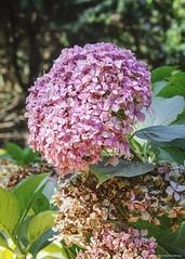 Lilas (cristian.villazón.valencia) Tags: lilas flores flowers jardín botánico viña árboles trees plantas hojas vegetación macro macrofotografía lilium verde