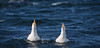 Funny Guys (Ranveig Marie Photography) Tags: seagulls måker måser bømlo sea ocean sjø fugler birds waves bølger vind wind sprut bølgesprut splash