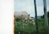 calf (Lore Stars) Tags: calf cow countryside burela naturaleza nature film analógica 35mm pentaxmv autochinon50mmf17 lightleak fotosistema100 animal hierba lorestars galicia expired