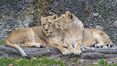 Friendly lionesses (Tambako the Jaguar) Tags: lion big wild cat asiatic asian indian female lioness two together lying resting love sniffing friendly rock stone grass zürich zoo switzerland nikon d5