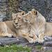 Friendly lionesses