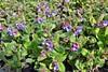 Lungenkraut - Explore 14. April 2018 # 179 (mama knipst!) Tags: lungenkraut heilpflanze wildblume natur frühling spring