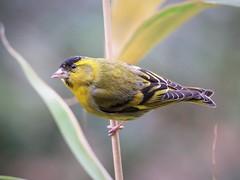 European Siskin (norbert.wegner) Tags: bird birds erlenzeisig