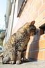 街貓日記 (tsubasa8336) Tags: 日本 谷中銀座 貓 東京 cat tokyo japan 日暮里 寫真